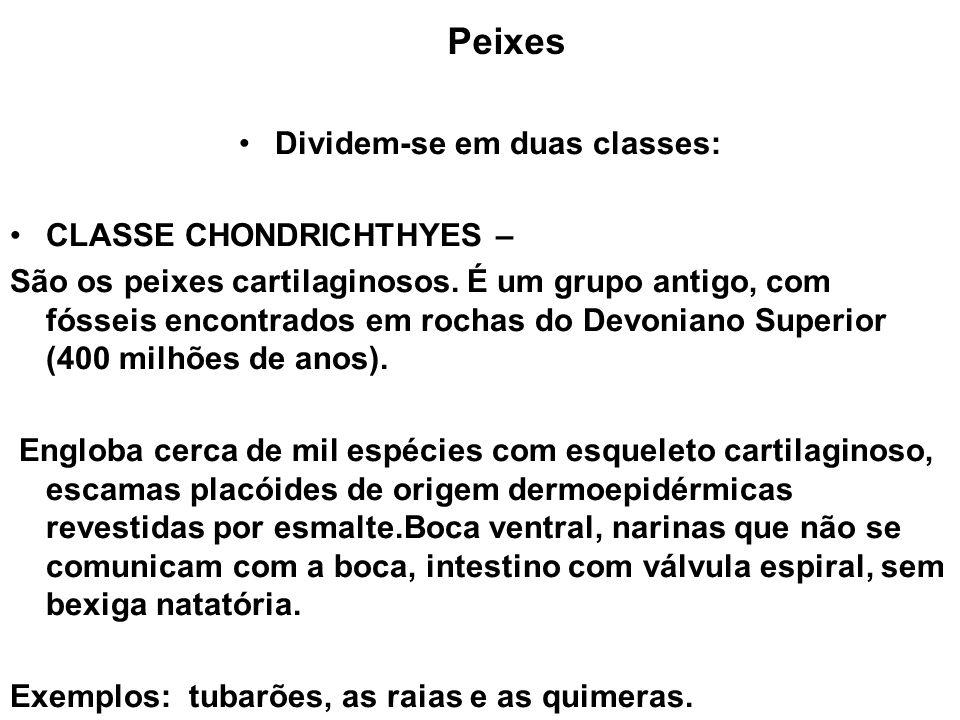 Peixes Dividem-se em duas classes: CLASSE CHONDRICHTHYES – São os peixes cartilaginosos. É um grupo antigo, com fósseis encontrados em rochas do Devon