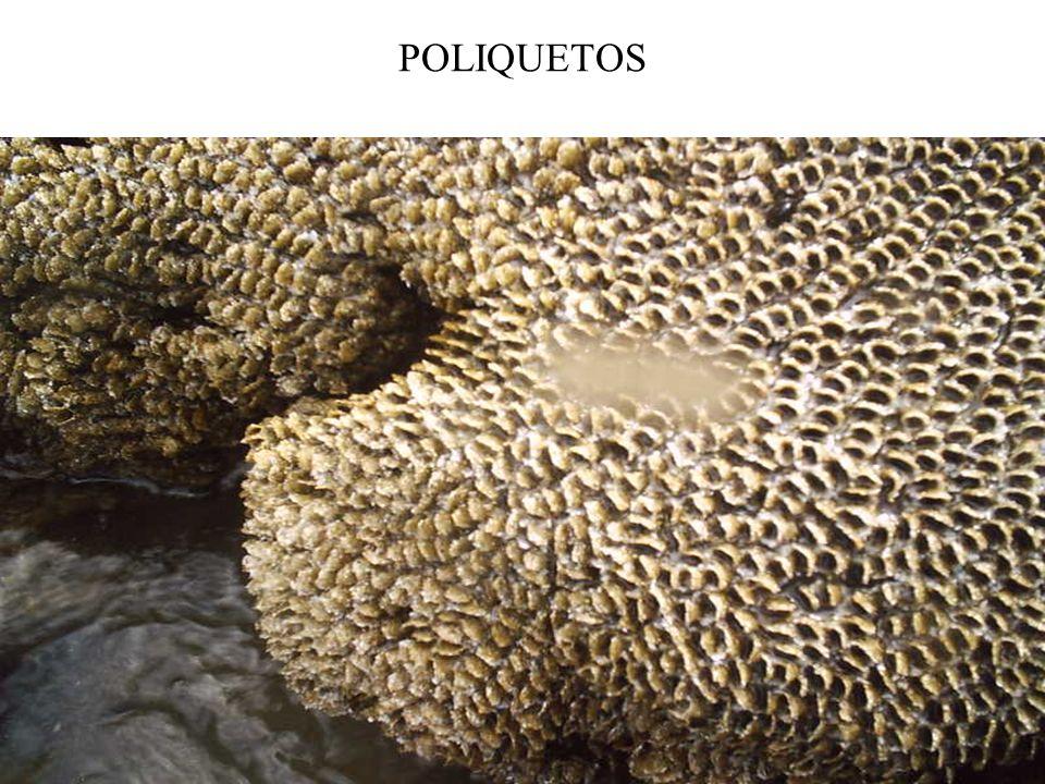 POLIQUETOS