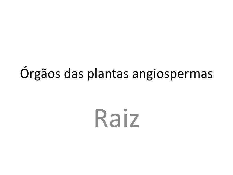 Órgãos das plantas angiospermas Raiz
