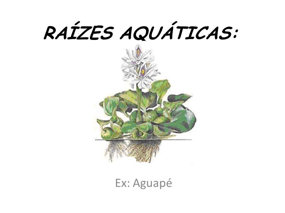 RAÍZES AQUÁTICAS: Ex: Aguapé