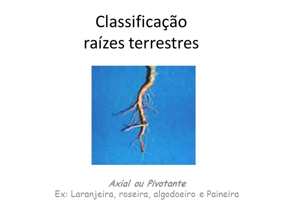 Classificação raízes terrestres Axial ou Pivotante Ex: Laranjeira, roseira, algodoeiro e Paineira