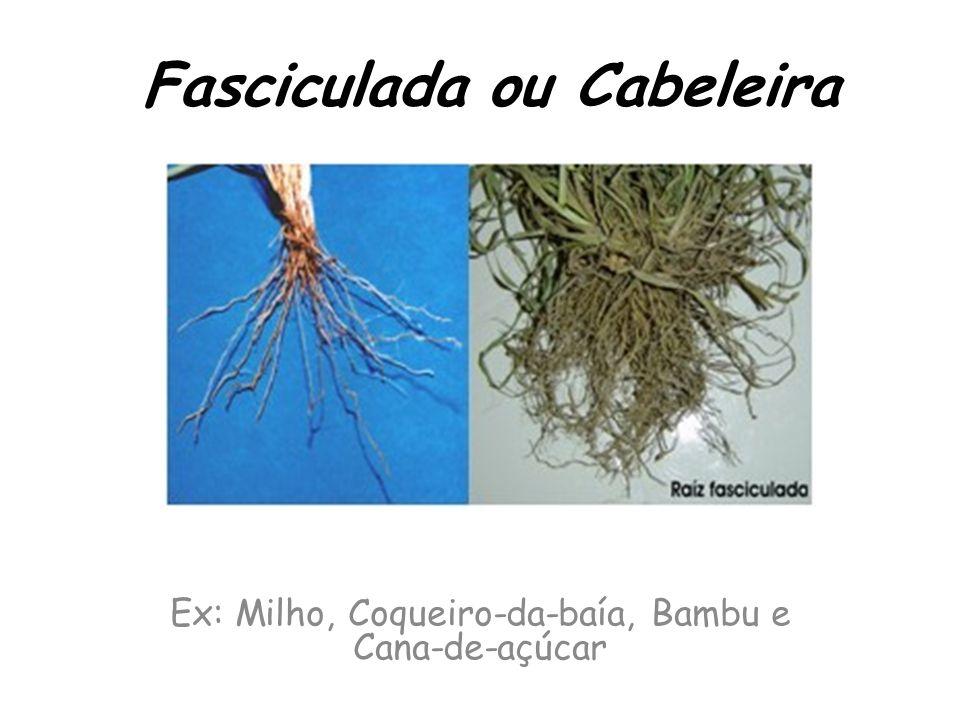 Fasciculada ou Cabeleira Ex: Milho, Coqueiro-da-baía, Bambu e Cana-de-açúcar