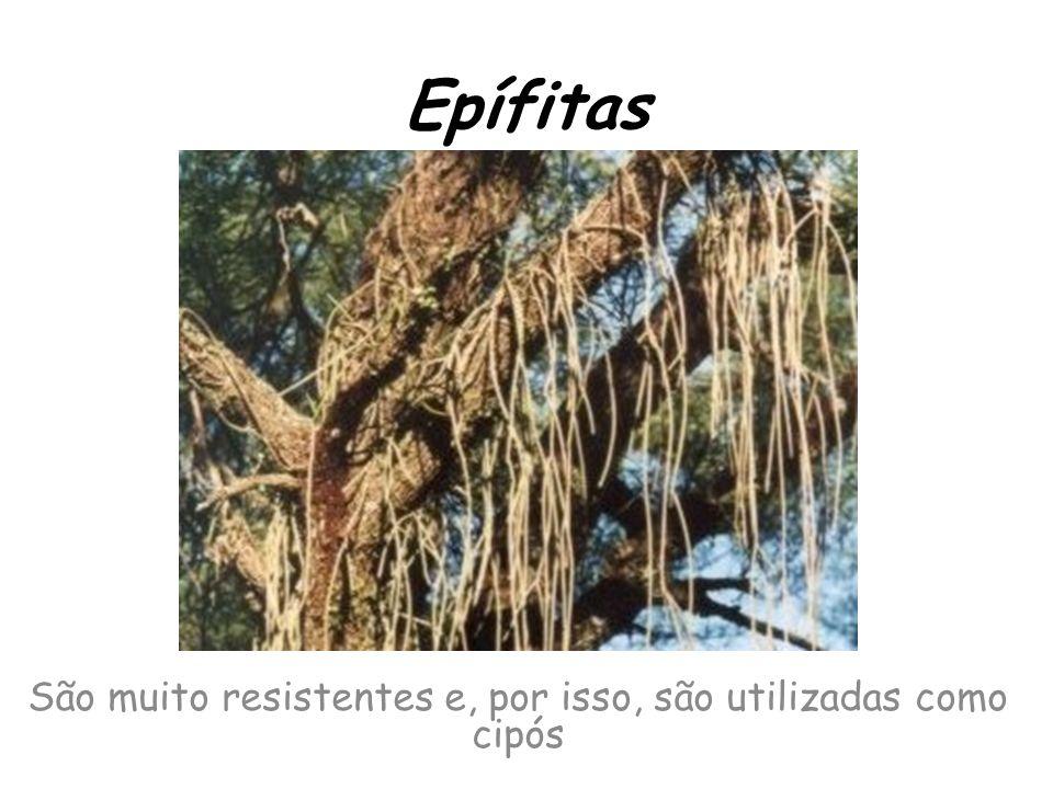 Epífitas São muito resistentes e, por isso, são utilizadas como cipós