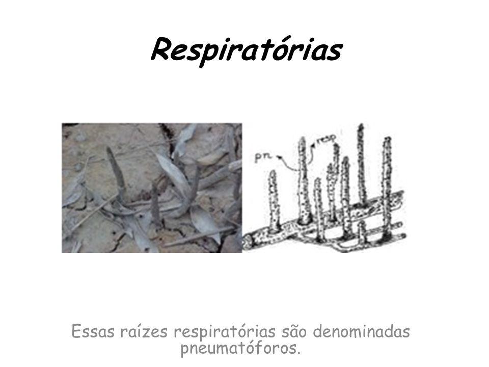 Respiratórias Essas raízes respiratórias são denominadas pneumatóforos.