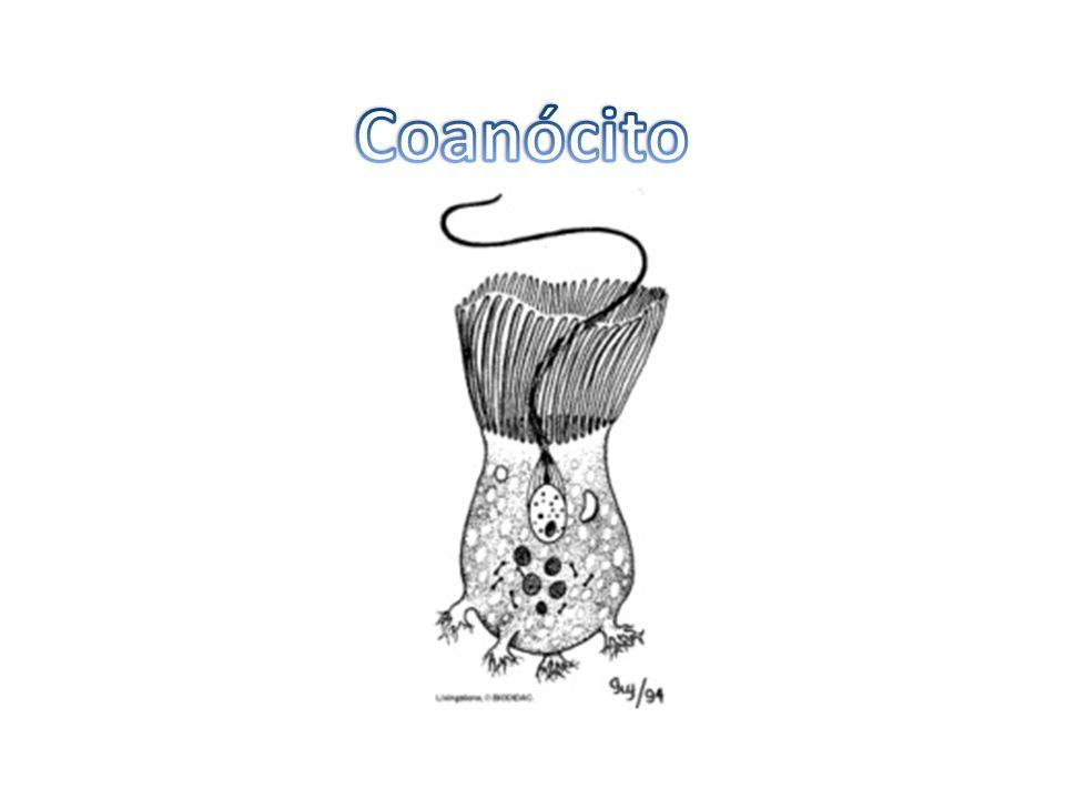 Coanócitos são: a) células características dos espongiários (poríferos); b) células características dos celenterados; c) células reprodutivas; d) formas jovens dos poríferos; e) o mesmo que cnidoblastos