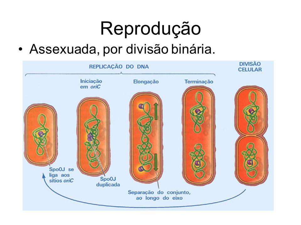 Reprodução Assexuada, por divisão binária.