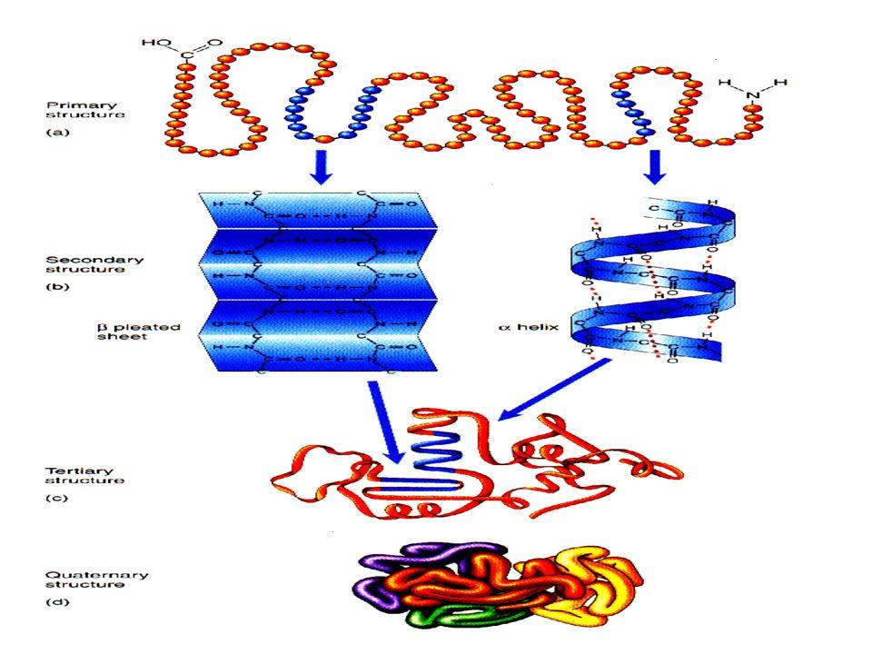 3,6 resíduos de aminoácido por passo ~ 5.4 ª Estabilizado por H-ponte entre.