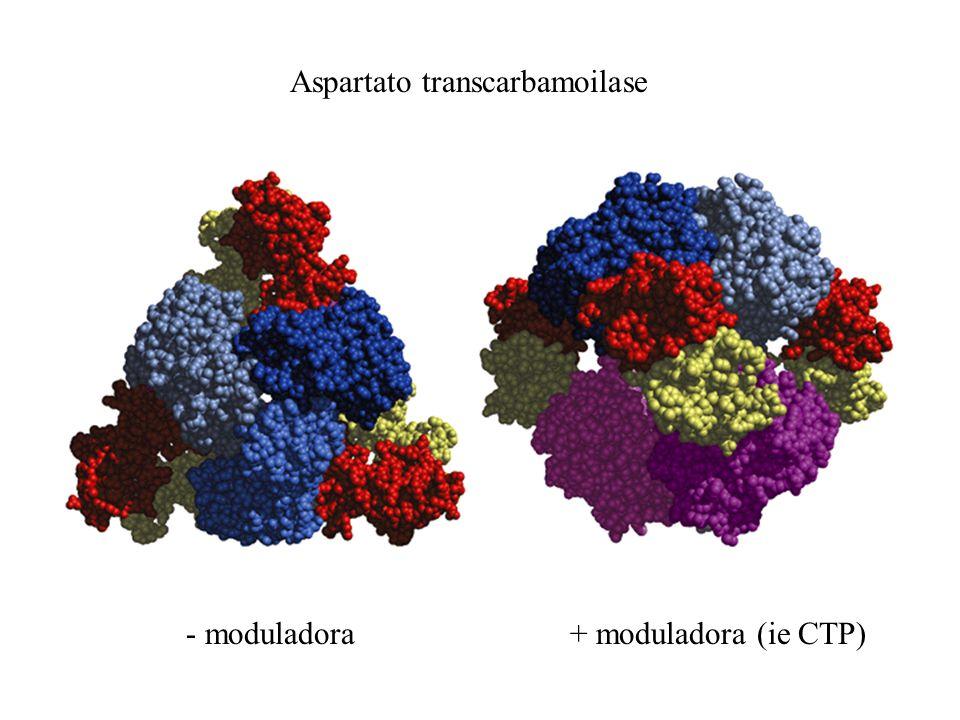 Aspartato transcarbamoilase - moduladora+ moduladora (ie CTP)