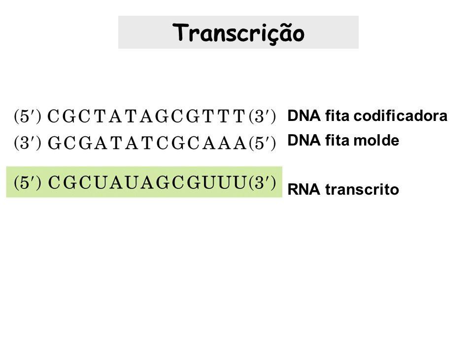 DNA fita codificadora DNA fita molde RNA transcrito Transcrição