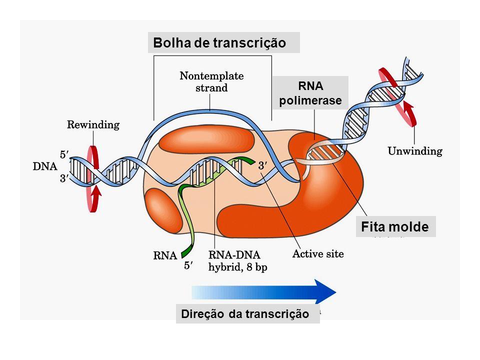 Bolha de transcrição Fita molde RNA polimerase Direção da transcrição