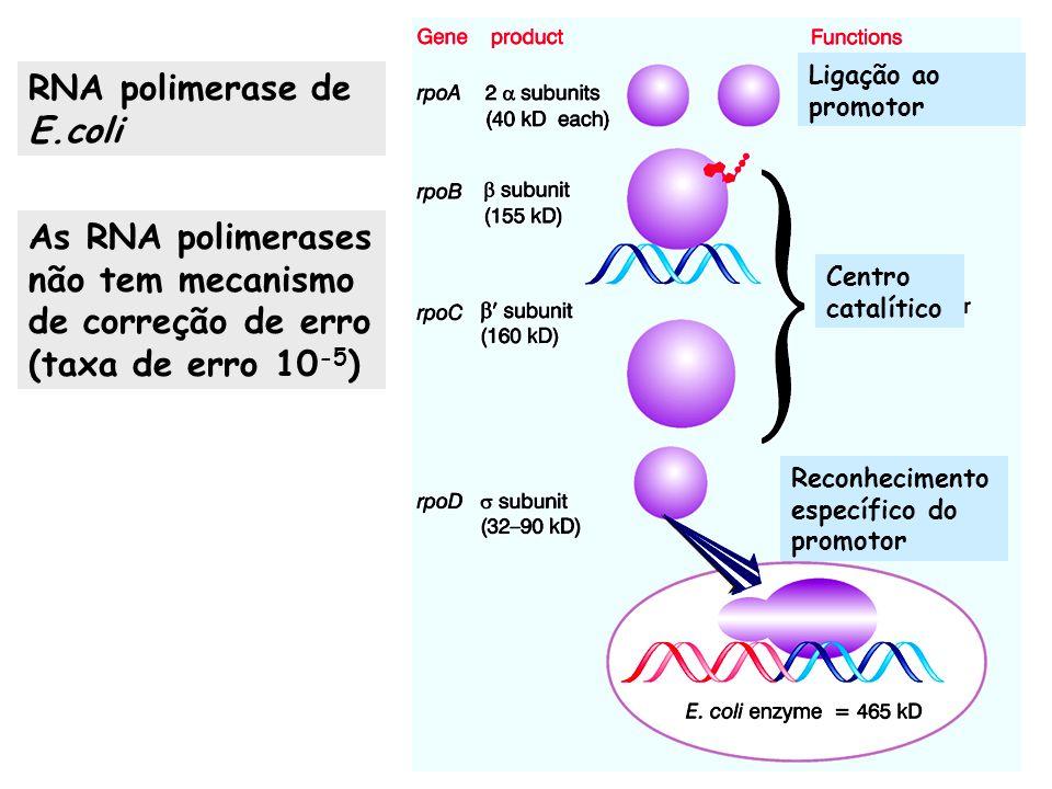 Ligação ao promotor Centro catalítico Reconhecimento específico do promotor As RNA polimerases não tem mecanismo de correção de erro (taxa de erro 10