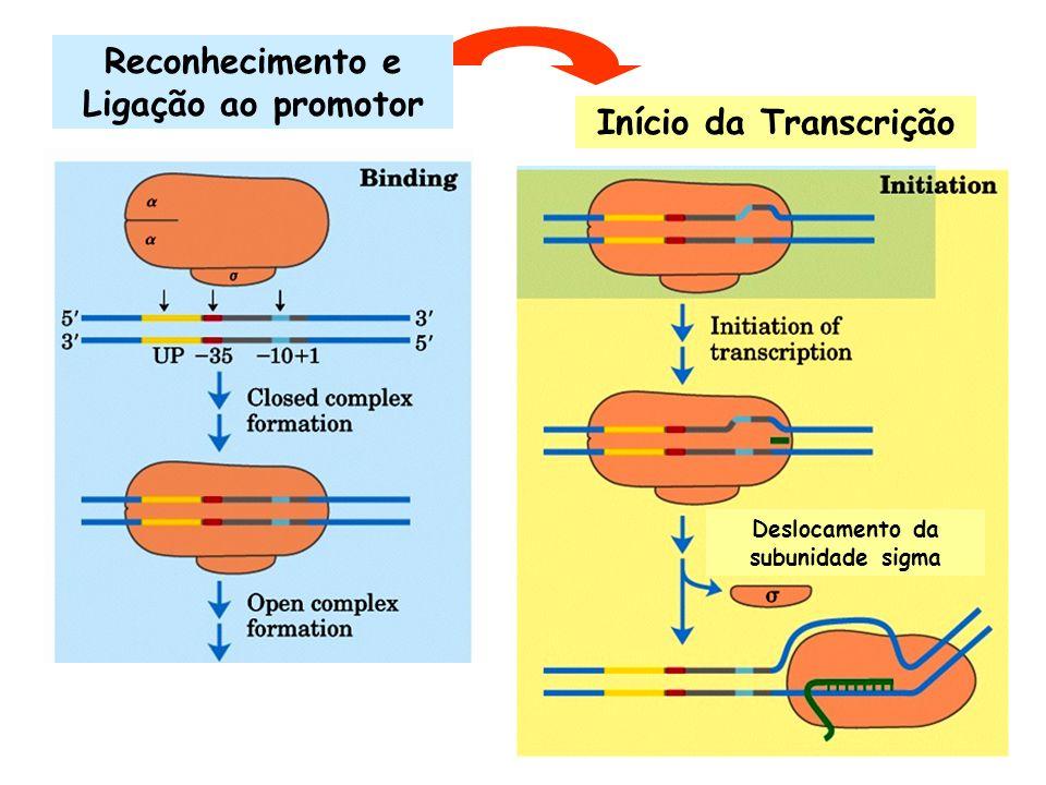 Início da Transcrição Reconhecimento e Ligação ao promotor Deslocamento da subunidade sigma