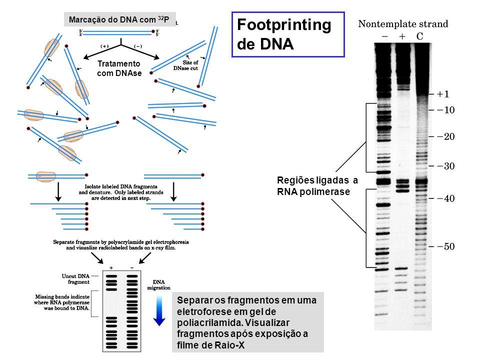 Marcação do DNA com 32 P Tratamento com DNAse Separar os fragmentos em uma eletroforese em gel de poliacrilamida. Visualizar fragmentos após exposição