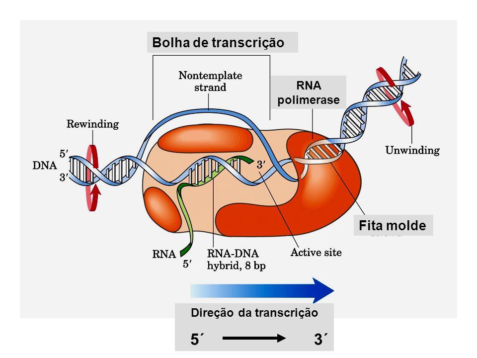 Bolha de transcrição Fita molde RNA polimerase Direção da transcrição 5´ 3´
