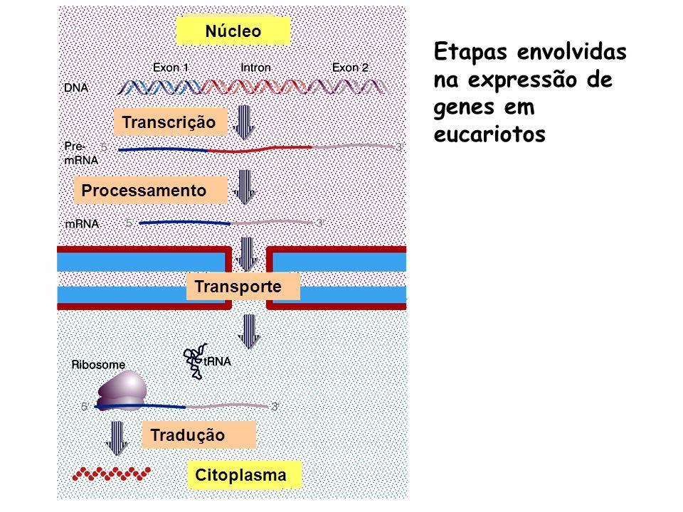 Etapas envolvidas na expressão de genes em eucariotos Transcrição Processamento Transporte Tradução Citoplasma Núcleo
