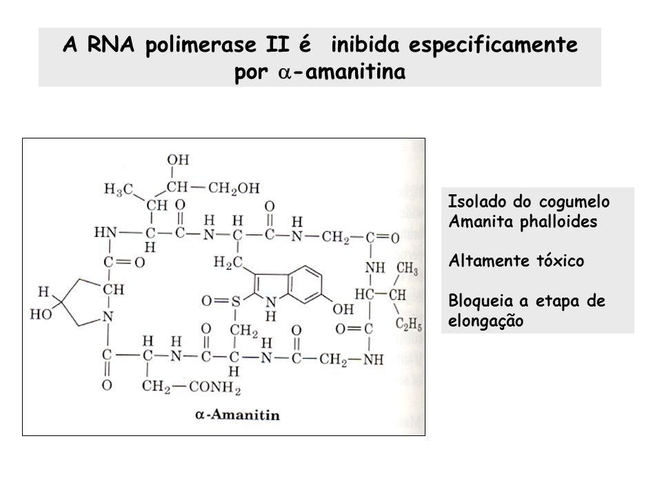 A RNA polimerase II é inibida especificamente por -amanitina Isolado do cogumelo Amanita phalloides Altamente tóxico Bloqueia a etapa de elongação