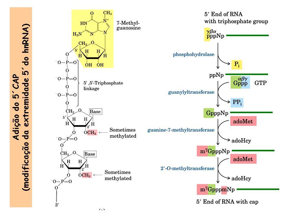 Adição do 5´CAP (modificação da extremidade 5´do hnRNA)