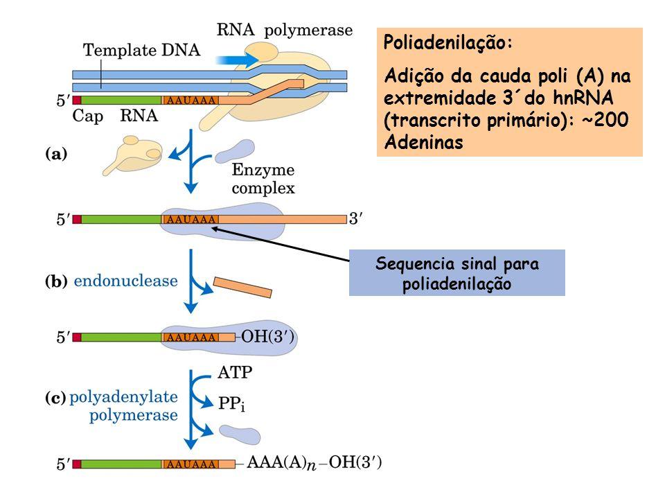 Poliadenilação: Adição da cauda poli (A) na extremidade 3´do hnRNA (transcrito primário): ~200 Adeninas Sequencia sinal para poliadenilação