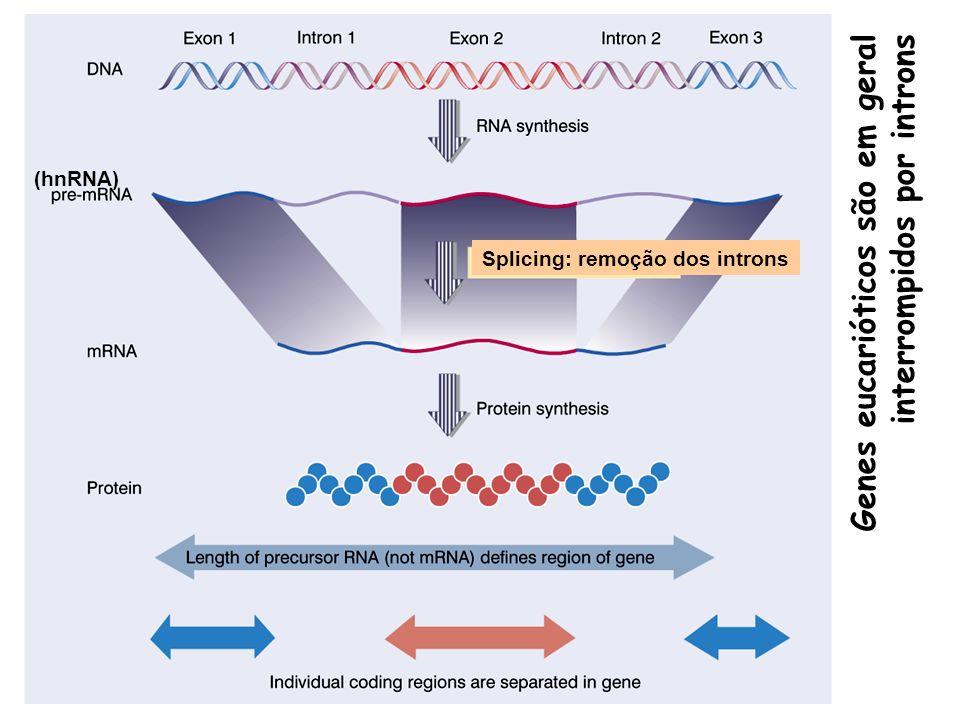 (hnRNA) Genes eucarióticos são em geral interrompidos por introns Splicing: remoção dos introns