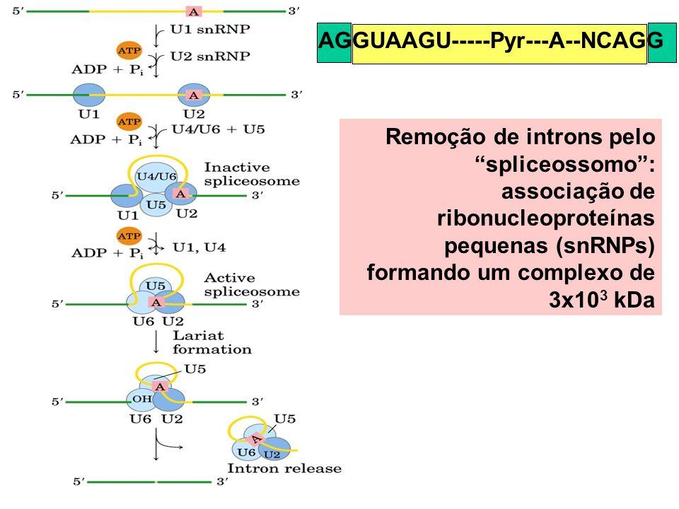 Remoção de introns pelo spliceossomo: associação de ribonucleoproteínas pequenas (snRNPs) formando um complexo de 3x10 3 kDa AGGUAAGU-----Pyr---A--NCA