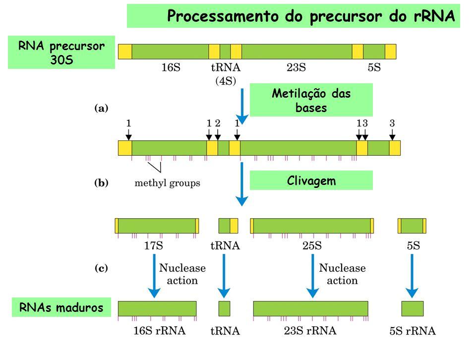 Processamento do precursor do rRNA Metilação das bases Clivagem RNAs maduros RNA precursor 30S