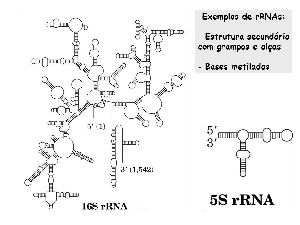 Exemplos de rRNAs: - Estrutura secundária com grampos e alças - Bases metiladas