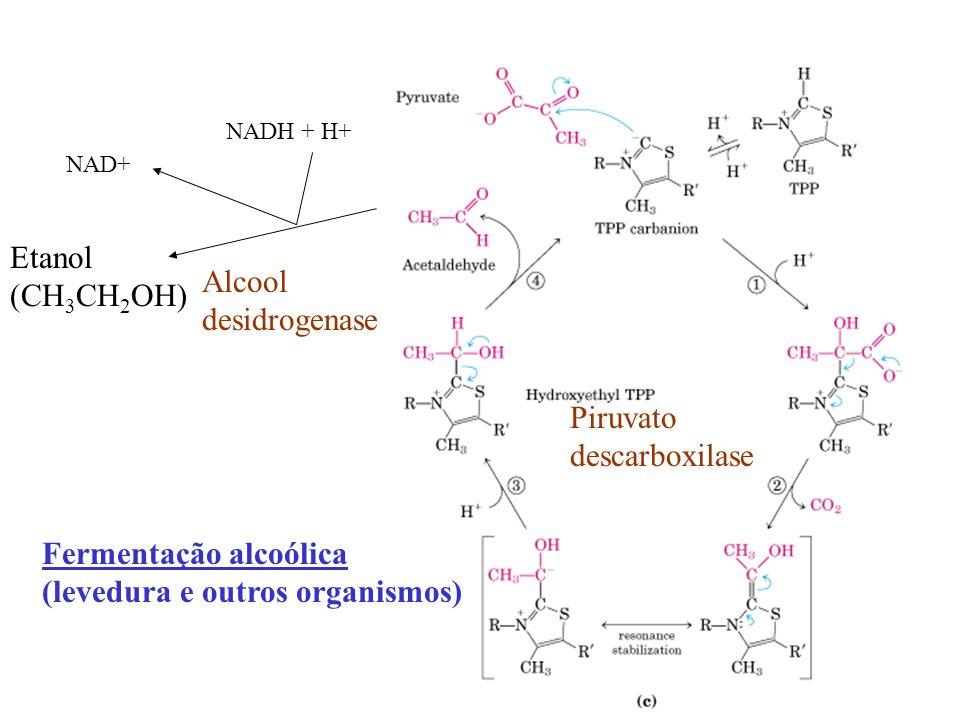 Piruvato descarboxilase NADH + H+ NAD+ Etanol (CH 3 CH 2 OH) Alcool desidrogenase Fermentação alcoólica (levedura e outros organismos)