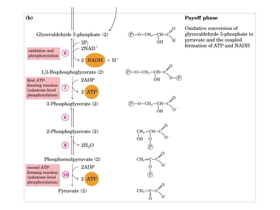 Regulação da Glicólise 1) hexoquinase: em músculo, inibida por seu produto glicose-6-fosfato (inibição aloestérica) Isozima de hexoquinase no fígado é hexoquinase D ou glicoquinase que tem baixa afinidade para glicose