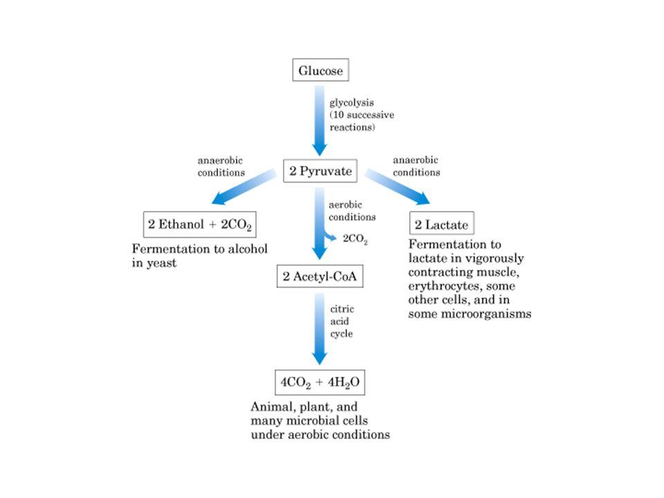 Regulação da Glicólise 2) Piruvato quinase: inibição aloestérica pelo ATP, diminuindo sua afinidade para fosfoenolpiruvato.