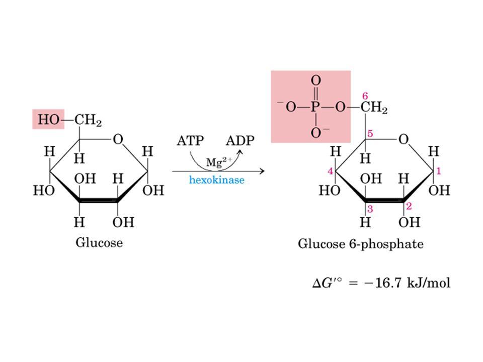 Regulação da Glicólise 3) Fosfofrutoquinase I Inibida aloestéricamente por ATP, citrato, fosfoenolpiruvato Ativada aloestéricamente pela AMP, ADP, frutose-6-fosfato e frutose-2,6-bisfosfato Frutose-2,6-bisfosfato é produzido pela Fosfofrutoquinase-2 (PFK2)