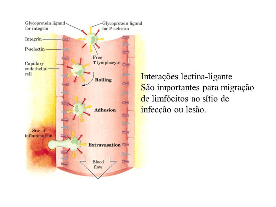 Interações lectina-ligante São importantes para migração de limfócitos ao sítio de infecção ou lesão.