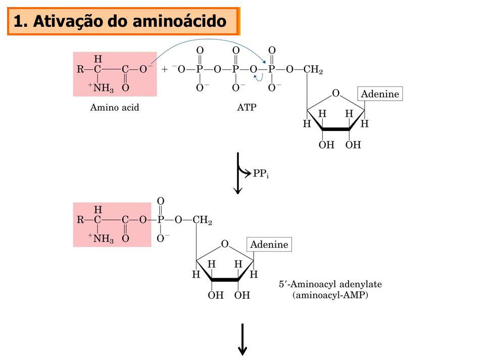 1. Ativação do aminoácido