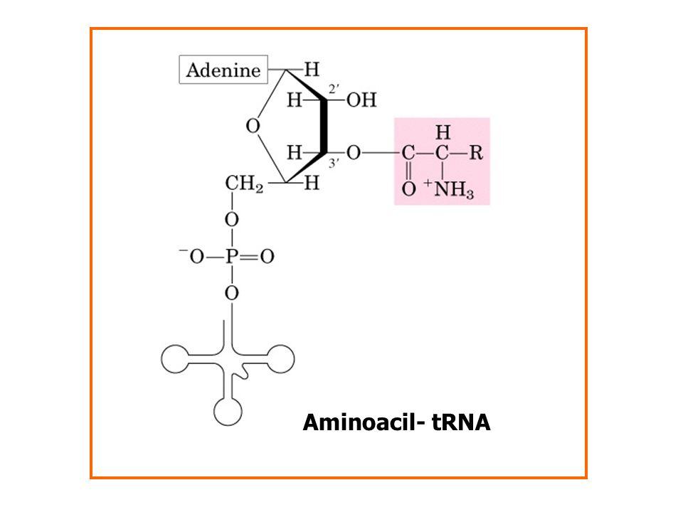 Aminoacil- tRNA