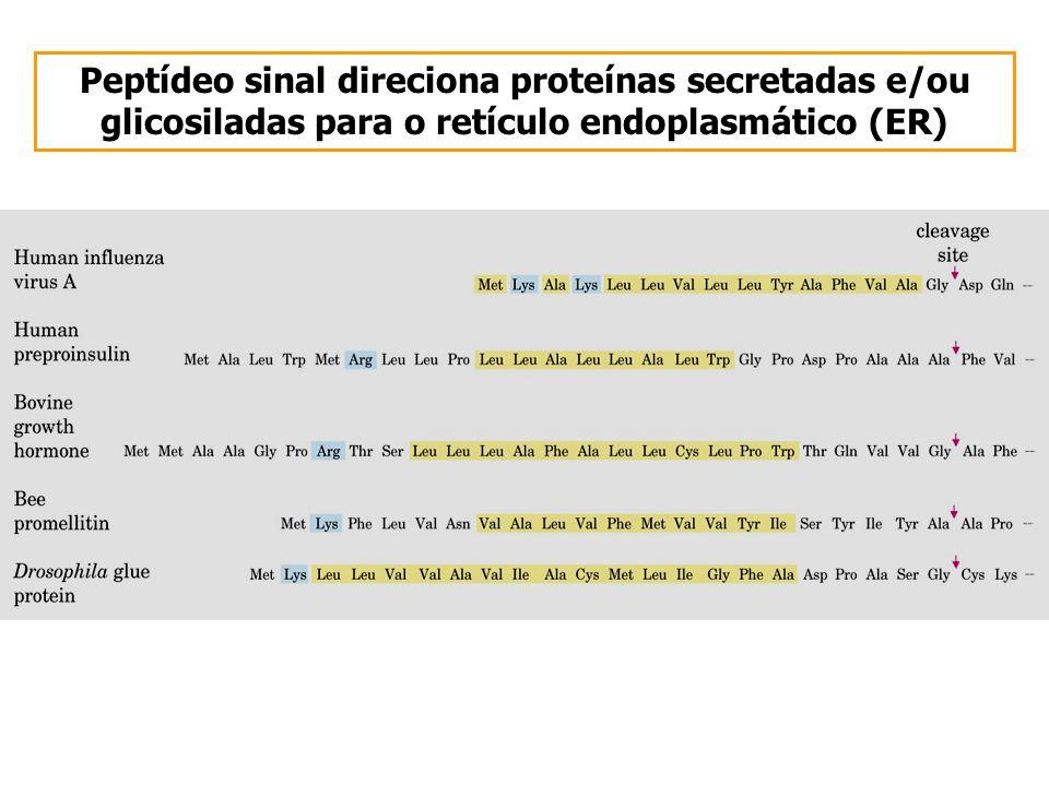Peptídeo sinal direciona proteínas secretadas e/ou glicosiladas para o retículo endoplasmático (ER)