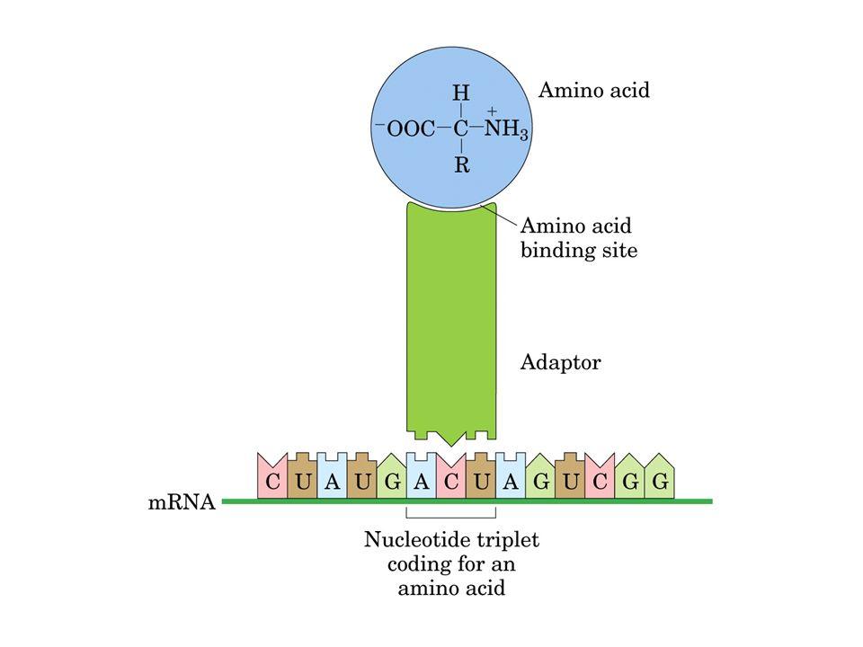 tRNA -Estrutura secundária com grampos e alças formando um trevo -Alto número de bases modificadas depois da sua transcrição