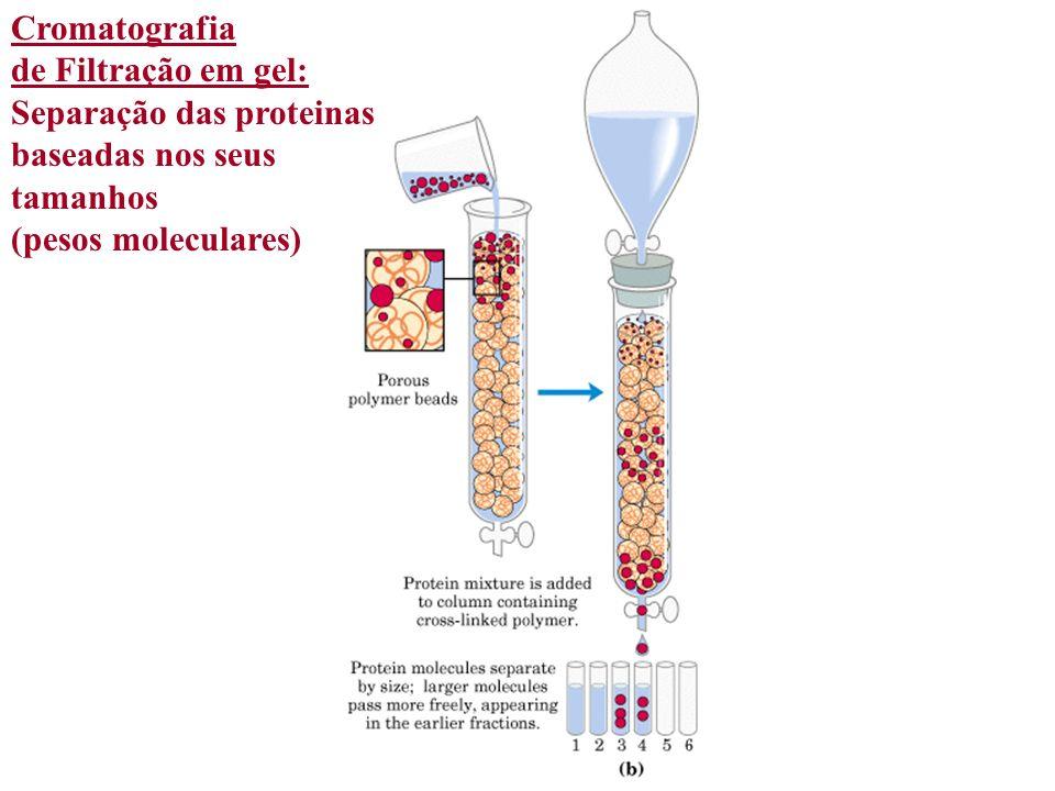Cromatografia de Filtração em gel: Separação das proteinas baseadas nos seus tamanhos (pesos moleculares)