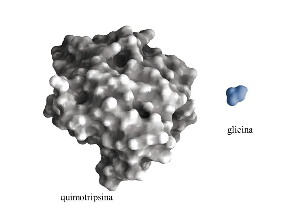 quimotripsina glicina