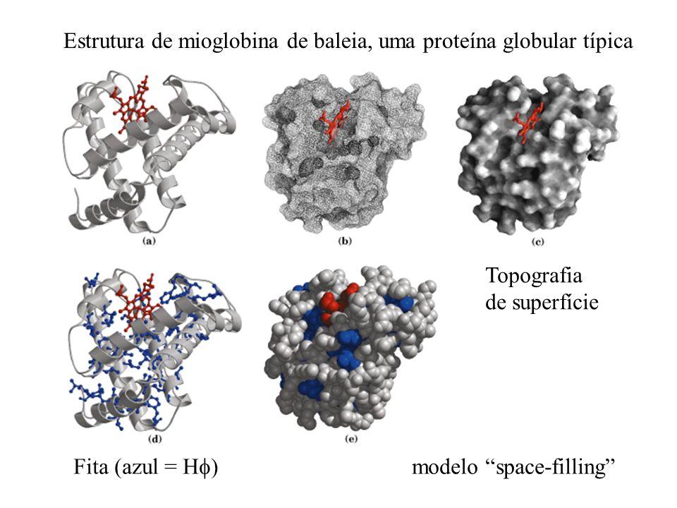 Estrutura de mioglobina de baleia, uma proteína globular típica Fita (azul = H )modelo space-filling Topografia de superfície