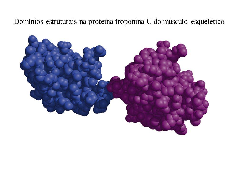 Domínios estruturais na proteína troponina C do músculo esquelético