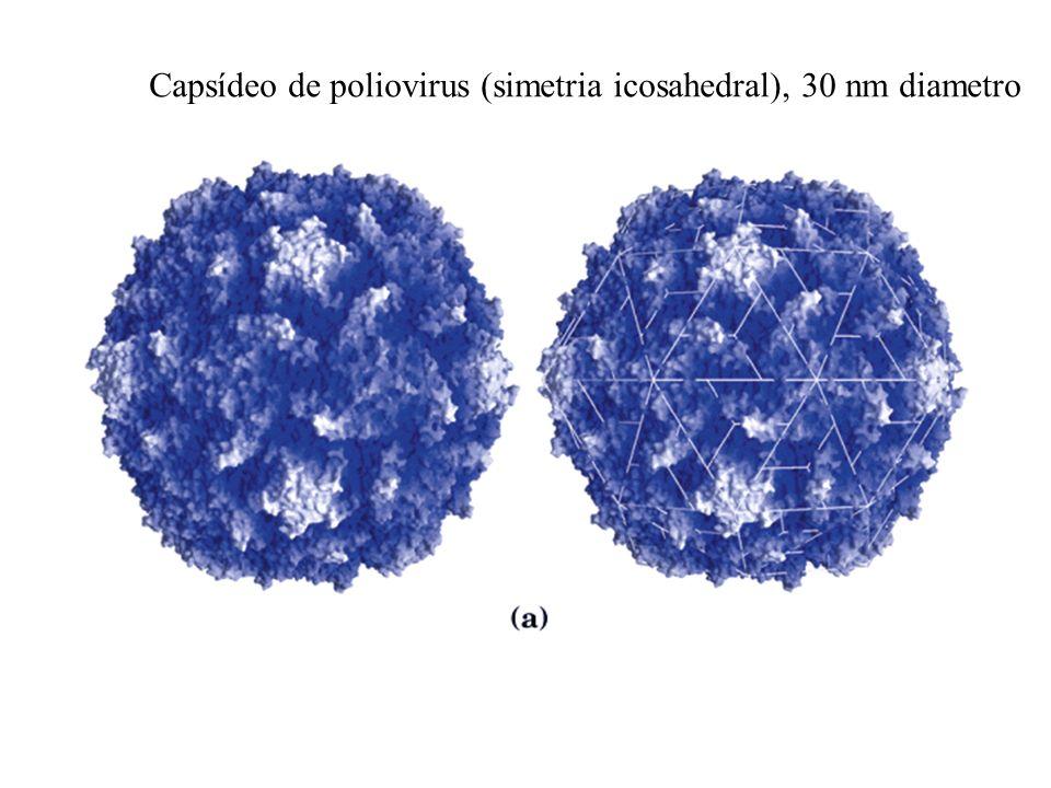 Capsídeo de poliovirus (simetria icosahedral), 30 nm diametro