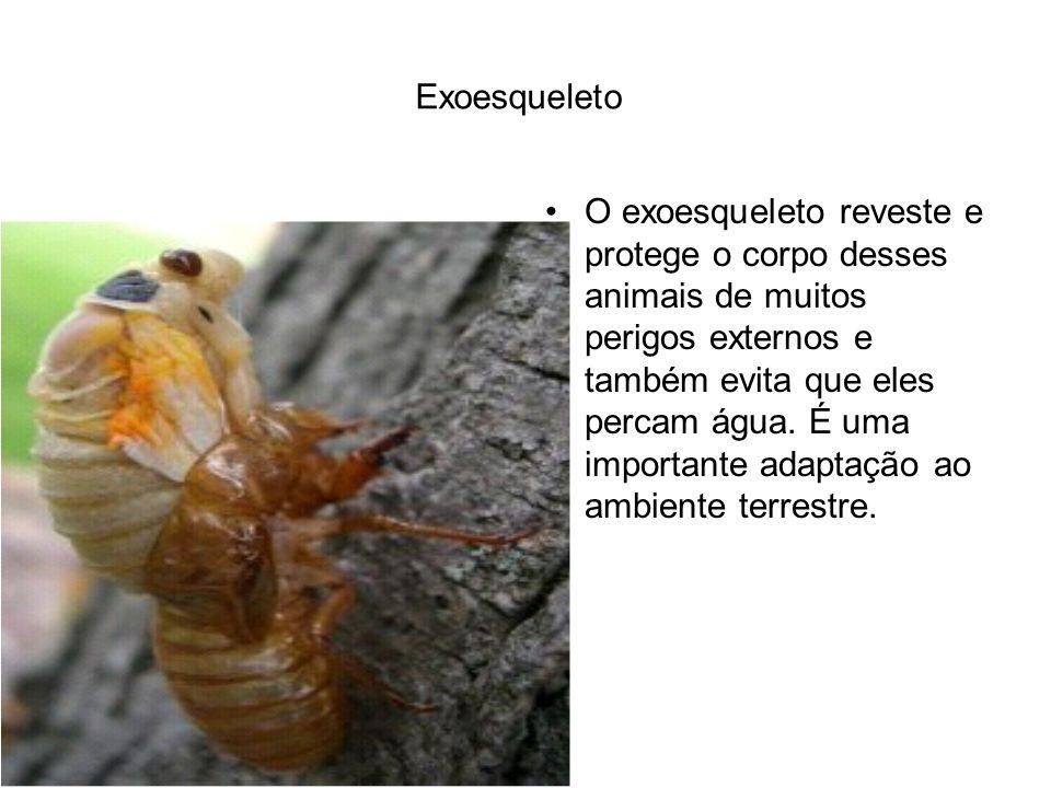 Exoesqueleto O exoesqueleto reveste e protege o corpo desses animais de muitos perigos externos e também evita que eles percam água. É uma importante