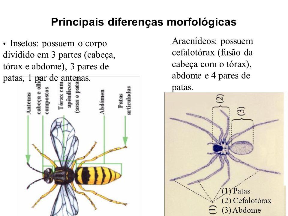 Principais diferenças morfológicas (1) Patas (2) Cefalotórax (3) Abdome Insetos: possuem o corpo dividido em 3 partes (cabeça, tórax e abdome), 3 pare