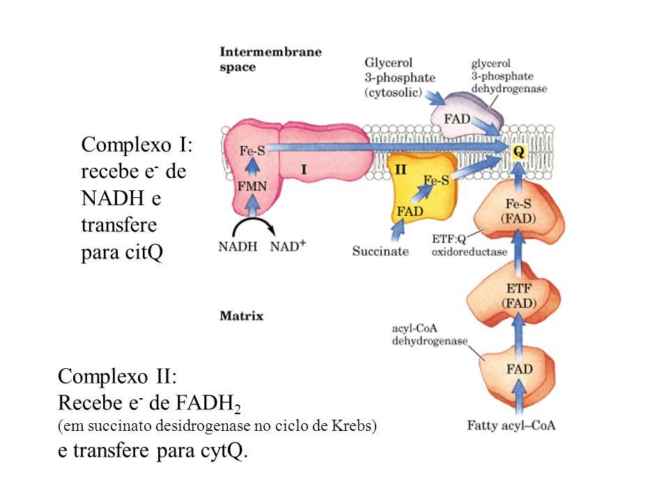 Complexo I: recebe e - de NADH e transfere para citQ Complexo II: Recebe e - de FADH 2 (em succinato desidrogenase no ciclo de Krebs) e transfere para