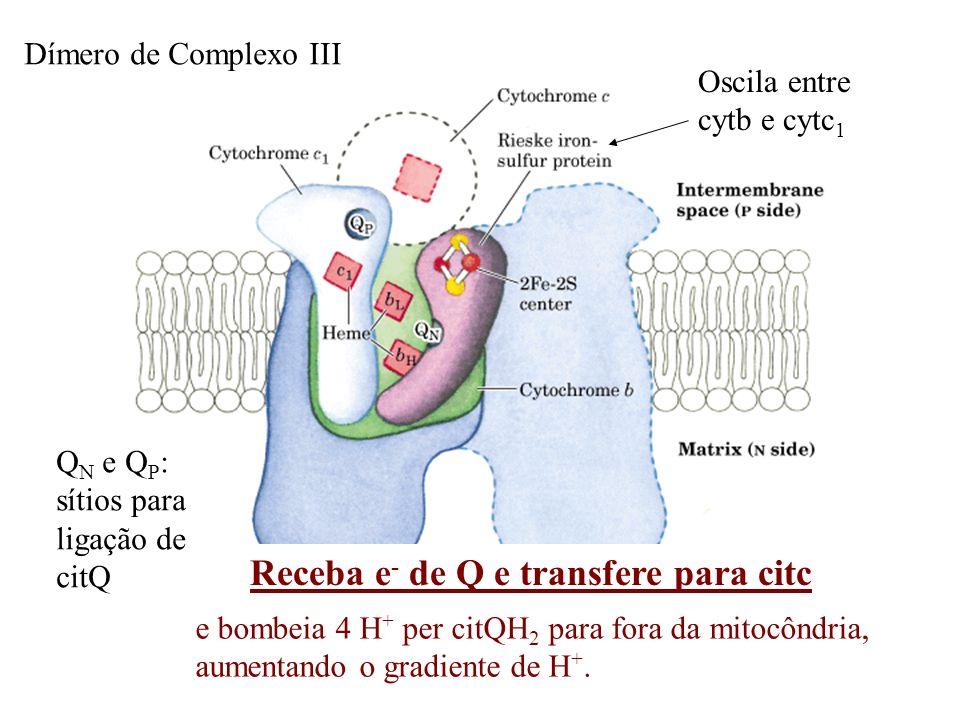 Q N e Q P : sítios para ligação de citQ Oscila entre cytb e cytc 1 Dímero de Complexo III Receba e - de Q e transfere para citc e bombeia 4 H + per ci