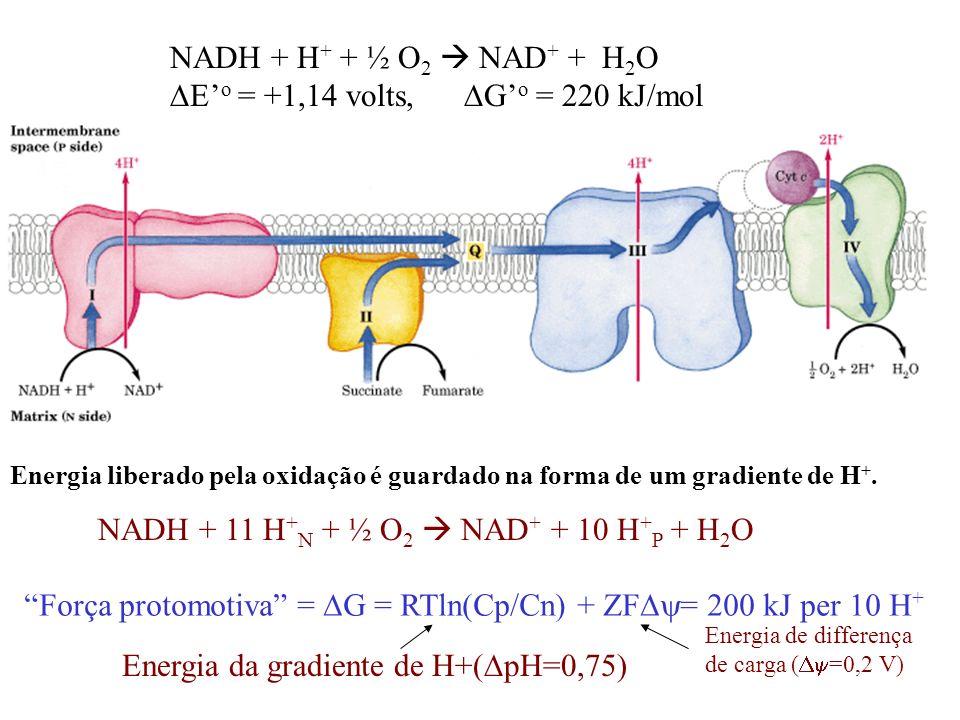 NADH + 11 H + N + ½ O 2 NAD + + 10 H + P + H 2 O NADH + H + + ½ O 2 NAD + + H 2 O E o = +1,14 volts, G o = 220 kJ/mol Energia liberado pela oxidação é