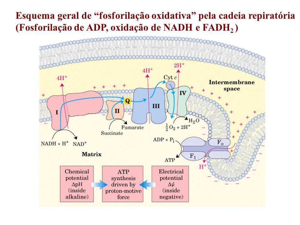 Esquema geral de fosforilação oxidativa pela cadeia repiratória (Fosforilação de ADP, oxidação de NADH e FADH 2 )