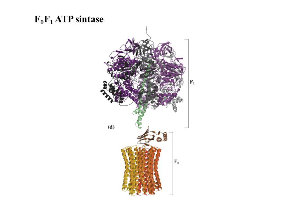 F 0 F 1 ATP sintase