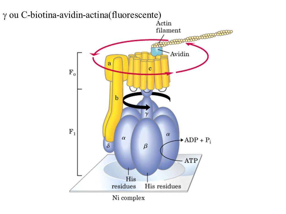 ou C-biotina-avidin-actina(fluorescente)