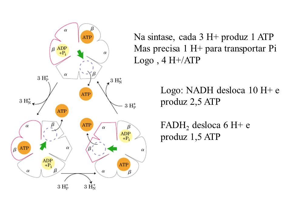 Na sintase, cada 3 H+ produz 1 ATP Mas precisa 1 H+ para transportar Pi Logo, 4 H+/ATP Logo: NADH desloca 10 H+ e produz 2,5 ATP FADH 2 desloca 6 H+ e