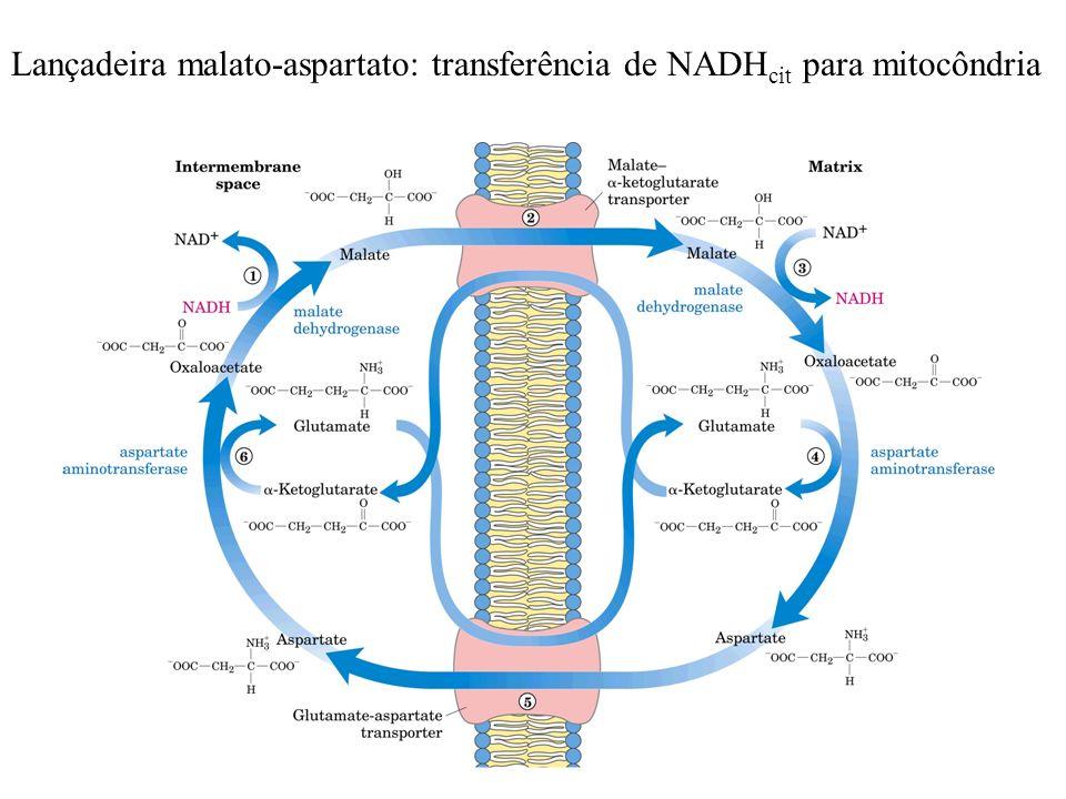 Lançadeira malato-aspartato: transferência de NADH cit para mitocôndria